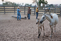 foal roping in Pantanal ranch