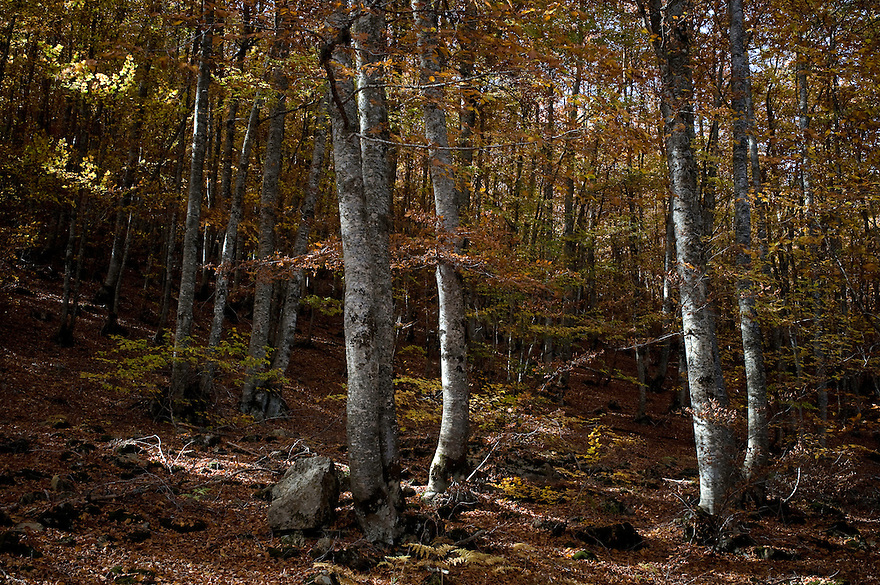 Greece, Pindos Mountains, Pindos NP, Valia Calda, Beech forest