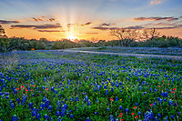 Texas Hill Country Wildflower Sunset - Texas hill country wildflowers along this road at sunsets casting these rays across pinks, yellow, and orange colors in the sky. This was a nice colorful sunset sky add in some bluebonnets, indian paintbrush, yellow wildflowers with just a touch of light from the sun left a twinkle through the trees on it way down and you have wonderful wildflowers sunset landscape. Bluebonnet season as we call it here in Texas on some year produces wonderful blooms to dazzel our senses both with smell and sight. This year is not the boom we first though but it is definately a good year for wildflowers of all kinds in the Texas hill country.