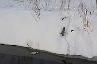 Europäischer Fischotter, Otter, Fisch-Otter, Spuren im Schnee am Ufer eines Teiches führen in offene Wasserflächen, Lutra lutra, European river otter