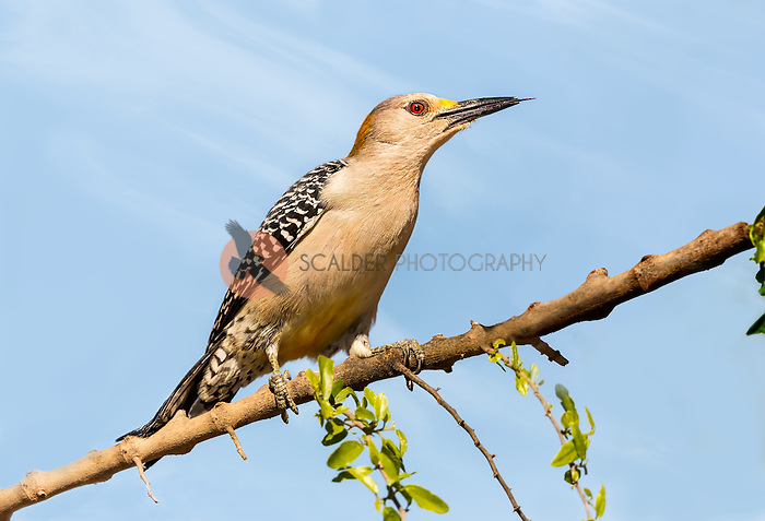 Female Golden-Fronted Woodpecker perched on a branch with tongue out