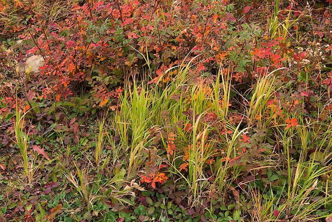 fall color, wild roses, strawberry and grass, morning in the Rocky Mountains, Tahosa Valley, near Estes Park, Colorado, USA