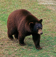 MA01-143z  Black Bear - brown phase - Ursus americanus