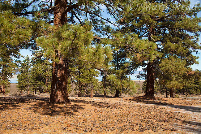 Jeffrey Pines (Pinus jeffreyi), with many fallen cones in autumn, forest found south and east of Mono Lake, California, USA