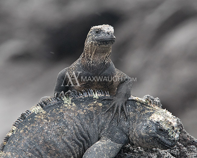 A young marine iguana perches on an adult.  These lizards often huddle together for warmth.