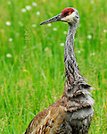 An adult sandhill crane looks up from feeding for insects and worms in a grassy area in northern Wisconsin. Its feathers still wet from a recent rain shower.