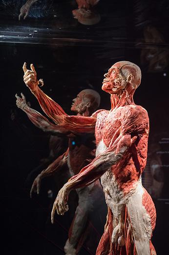 Die Koerperwelten-Ausstellung des Plastinator Gunther von Hagens und seiner Ehefrau Dr. Angelina Whalley im Menschen Museum in Berlin Mitte.<br /> Im Bild: Das Plastinat &quot;Autopsie-Body&quot;. Gezeigt werden alle Muskeln, die direkt unter der Haut liegen.<br /> 17.2.2015, Berlin<br /> Copyright: Christian-Ditsch.de<br /> [Inhaltsveraendernde Manipulation des Fotos nur nach ausdruecklicher Genehmigung des Fotografen. Vereinbarungen ueber Abtretung von Persoenlichkeitsrechten/Model Release der abgebildeten Person/Personen liegen nicht vor. NO MODEL RELEASE! Nur fuer Redaktionelle Zwecke. Don't publish without copyright Christian-Ditsch.de, Veroeffentlichung nur mit Fotografennennung, sowie gegen Honorar, MwSt. und Beleg. Konto: I N G - D i B a, IBAN DE58500105175400192269, BIC INGDDEFFXXX, Kontakt: post@christian-ditsch.de<br /> Bei der Bearbeitung der Dateiinformationen darf die Urheberkennzeichnung in den EXIF- und  IPTC-Daten nicht entfernt werden, diese sind in digitalen Medien nach &sect;95c UrhG rechtlich geschuetzt. Der Urhebervermerk wird gemaess &sect;13 UrhG verlangt.]