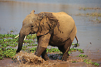 Young African Elephant playing in water.  Africa.