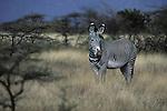 Grevys Zebra (Equus grevyi) Kenya, Africa