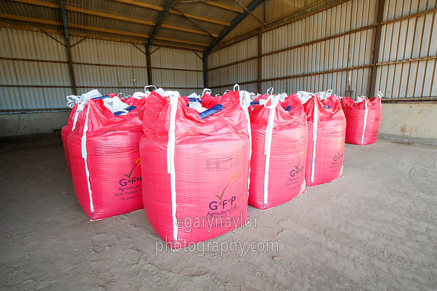 Winter wheat seed ready for drillng - Lincolnshire, Augsust