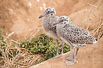 La Jolla, California; a pair of young Western gull chicks standing next to one another on the sandstone cliffs above the ocean