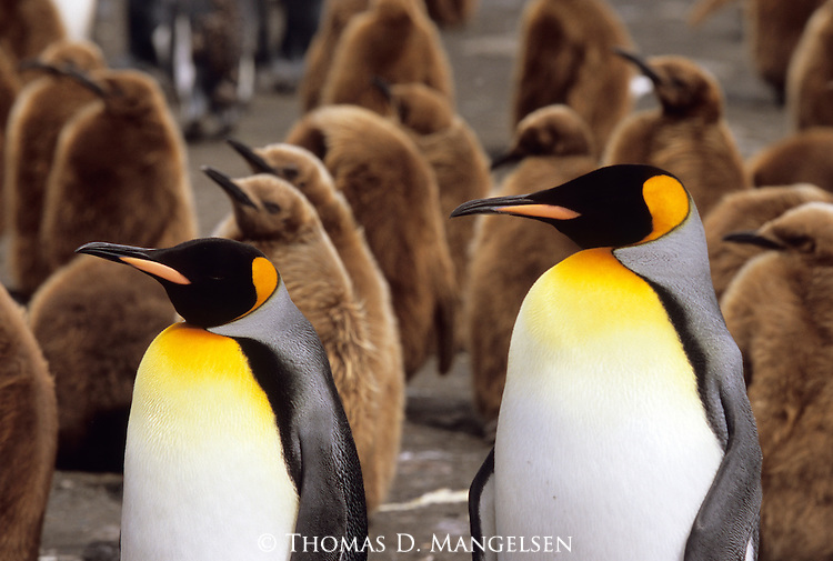 King Penguins on a beach at Gold Harbour, South Georgia Island.