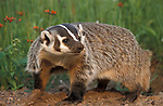 Badger, Taxidea taxus, Minnesota, captive, digging at burrow  .USA....