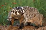 Badger, Taxidea taxus, Minnesota, captive, digging at burrow  .USA....