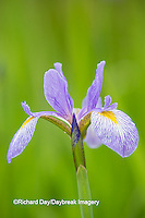 63899-05310 Blue Flag Iris (Iris versicolor) in wetland, Marion Co., IL