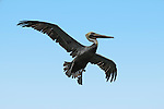 Brown Pelican about to land at Mission Bay, San Diego San Diego California.