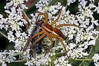 Gerandete Jagdspinne, Listspinne, mit Beute, Dolomedes fimbriatus, raft spider, raft-spider, la Dolomède des marais, Raubspinnen, Pisauridae