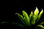 Bird's Nest Fern (Asplenium nidus), Tawau Hills Park, Sabah, Borneo, Malaysia