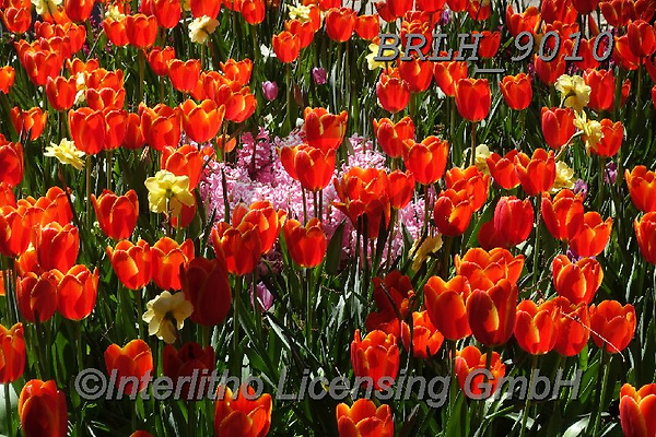 Luiz, FLOWERS, BLUMEN, FLORES, photos+++++,BRLH9010,#f#, EVERYDAY ,tulips ,allover