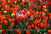 Luiz, FLOWERS, BLUMEN, FLORES, photos+++++,BRLH9010,#f#, EVERYDAY ,tulips ,allover