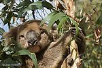 Ile Kangourou au sud d'Adelaide. Les Koalas ont ete introduits sur l'ile