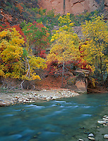 Zion National Park, UT<br /> Fall colored maple, ash, and oaks along the bank of the North Fork Virgin River in Zion Canyon
