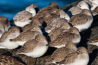 Dunlin (Calidris alpina) in basic pluamge roosting on a coastal jetty. Ocean County, New Jersey. January.