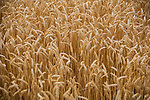 USA, Illinois, wheat field, close up