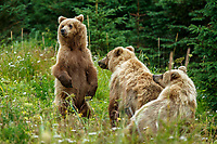 Alaska coastal brown (grizzly) bears mother and one-year old cubs.  Lake Clark National Park Alaska.  Summer. <br /> <br /> Photo by Jeff Schultz/SchultzPhoto.com  (C) 2018  ALL RIGHTS RESERVED<br /> Amazing Views-- Into the wild photo tour 2018