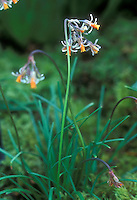 Tulbaghia acutiloba Wild Garlic in flower