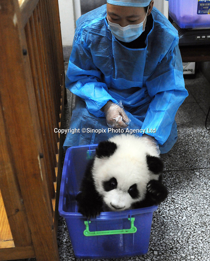 Wen Li  at the Chengdu Giant Panda Breeding and Research Base in Chengdu, China. Dec 2009.  The twins were born to their mother, Li Li, who is 19 years old, and her first babies. .