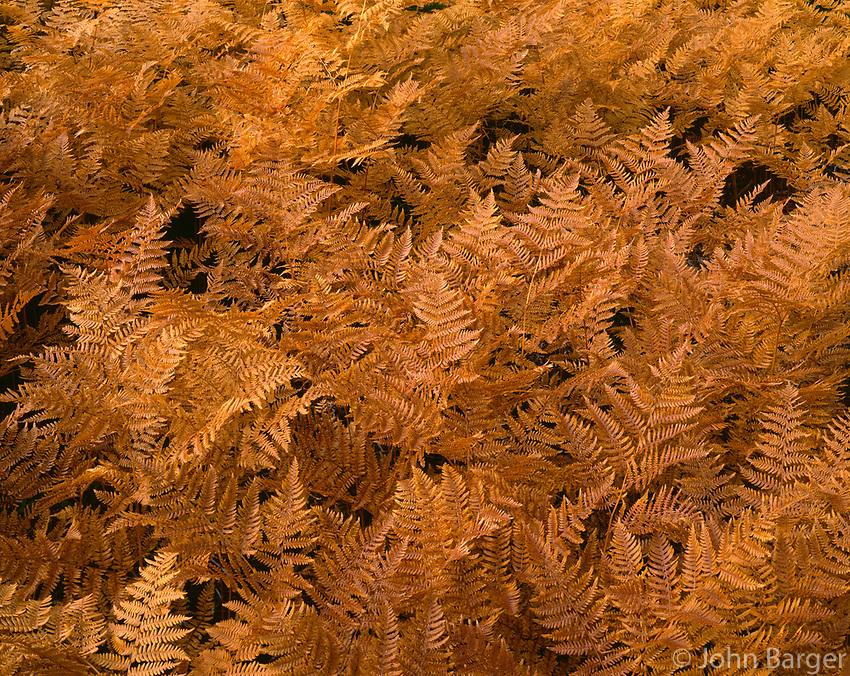 ORCAN_060 - USA, Oregon, Mount Hood National Forest, Bracken ferns display autumn color.