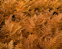 ORCAN_060 - USA, Oregon, Mount Hood National Forest, Bracken ferns display autumn color.