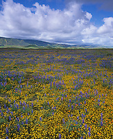 Carrizo Plain National Monument, CA<br /> Desert field of miniature lupine, goldfields, and california poppies with low lying clouds over the Caliente range