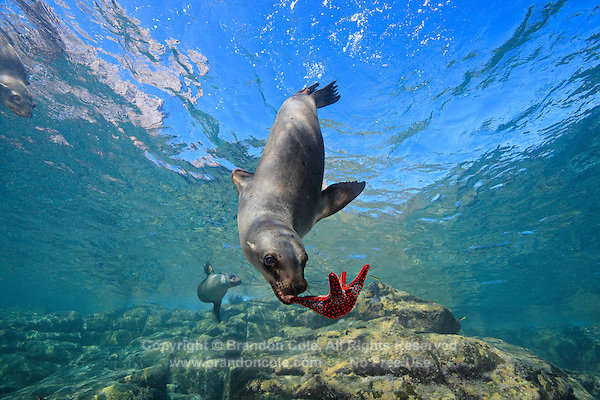 qt0809-D. California Sea Lion (Zalophus californianus) playing with sea star. Baja, Mexico, Sea of Cortez, Pacific Ocean.<br /> Photo Copyright &copy; Brandon Cole. All rights reserved worldwide.  www.brandoncole.com