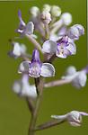 Orchid, species unknown, Analamazaotra Reserve, Madagascar