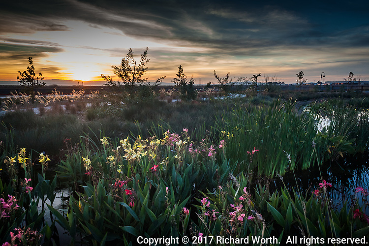 Attention to landscaping during renovation of the San Lorenzo Park extends well into the 'duck pond' itself with yellow, pink and red flowering plants on the western perimeter, seen here at sunset.