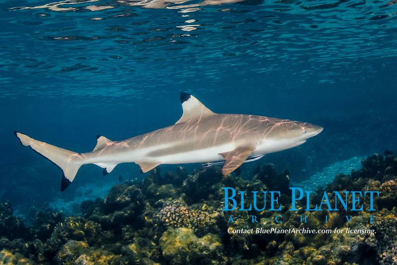 Blacktip Reef Shark, Carcharhinus melanopterus, Tumakohua Pass, Fakarava Atoll, French Polynesia, South Pacific Ocean