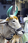 Sacred Cow In Bombay
