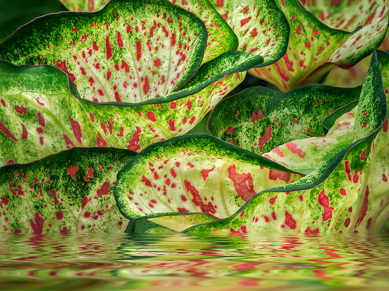 Close up of caladium leaves in water with reflection. Oregon