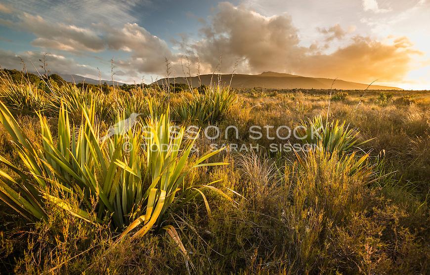 Sunlit Flax, Tongarario National Park, North Island, New Zealand - stock photo, canvas, fine art print