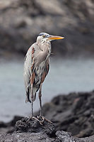 Great blue heron, Punto Espanosa, Fernandina Island, Galapagos Islands, Ecuador