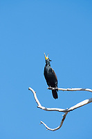 Double-crested Cormorant, Phalacrocorax auritus, perches in a dead tree at Lake Ewauna, Klamath Falls, Oregon