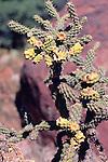 Buckhorn Cholla Cactus