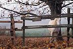 White horse peeking through fense in pasture on a autumn morning with fog Woodinville Washington State USA