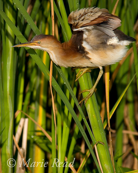 Least Bittern (Ixobrychus exilis), adult female stretching wings, Perch River WMA, New York, USA