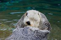 Sea Otter (Enhydra lutris) grooming fur.