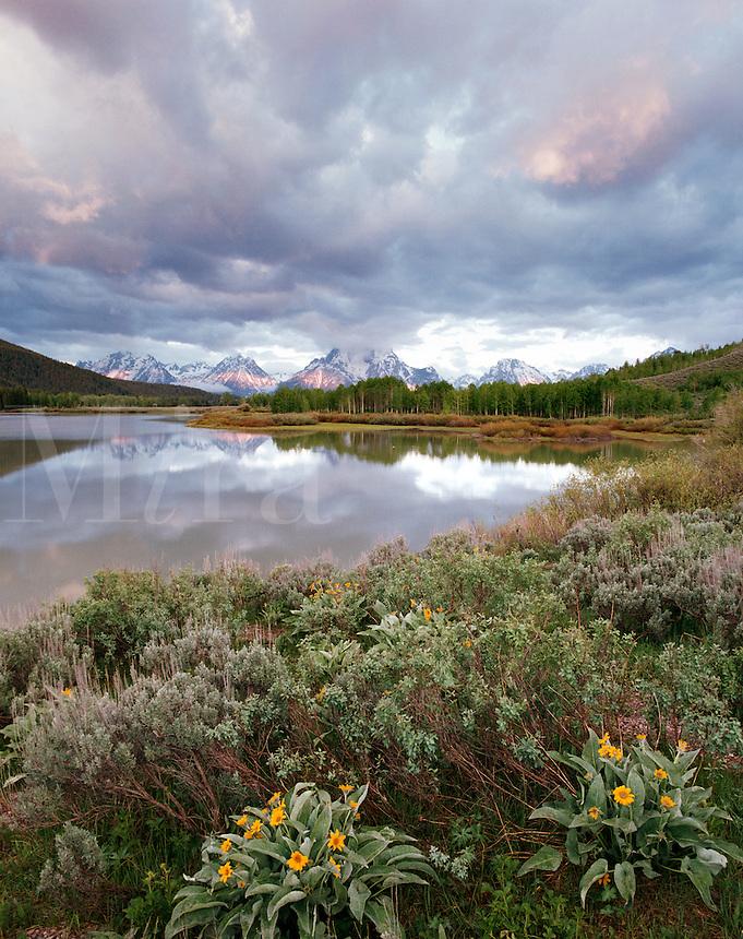 Balsamroot, Oxbow Bend and Teton Range, Grand Teton National Park, Wyoming