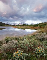 Balsamroot, Oxbow Bend and Teton Range, Grand Teton National Park, Wyoming