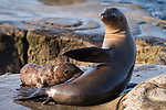 La Jolla, California; a California Sea Lion pup nurses from its mother while resting on the rocky shoreline in late afternoon sunlight
